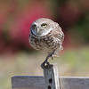 A Burrowing Owl Flies In