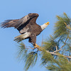 An Eagle Trying to Encourage Fledging