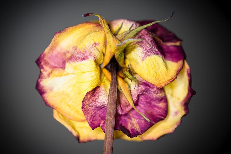 Blossom Bottom Wilted Rose