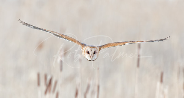 Barn Owl hunting among the cattails