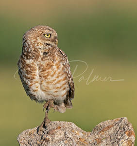 Adult male Burrowing Owl