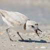 A tiny snowy plover with a tiny catch