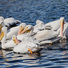 More White Pelicans