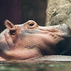 Close up of Fiona the Hippo Baby
