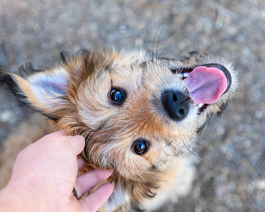 Cute mixed breed puppy, looking up at the camera, being pet by her owner.