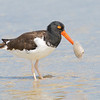 An Oyster Catcher finds a meal