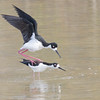 Mating Black Necked Stilts