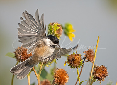 Chickadee landing on sunflower