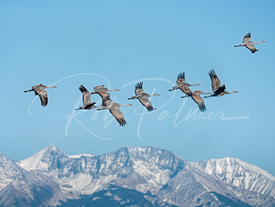 Sandhill Cranes above the mountains