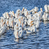 "A ""Gaggle"" of White Pelicans"