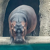 Fiona the baby hippo