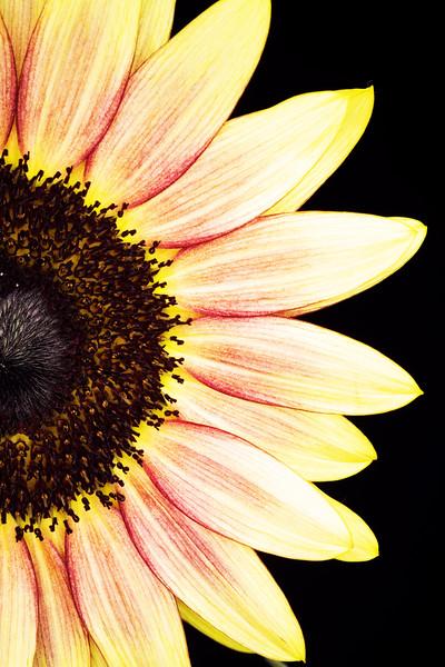 Summer Sunflower 19R