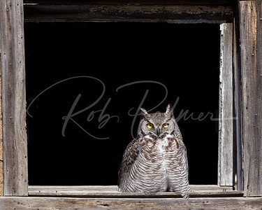 Owl in an abandoned farm house.