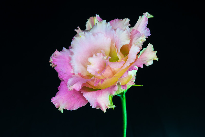 Lisianthus bloom