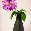 Dahlia in Black Vase