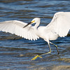 A Snowy Egret on the Move