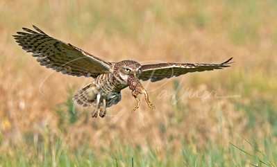 Burrowing owl with a toad