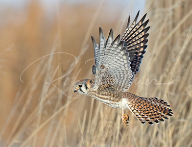 Beautiful Female Kestrel