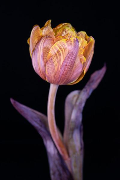 Painted Tulip 3