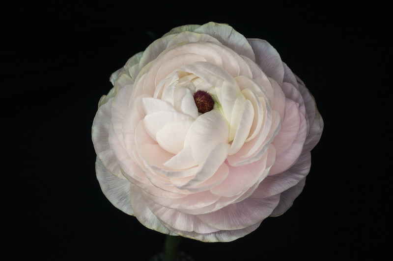 Ranunculus Bloom
