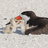 Skimmer with two feisty chicks