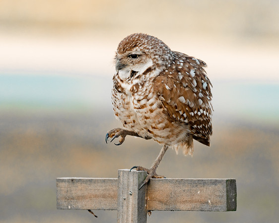 A Feisty Burrowing Owl