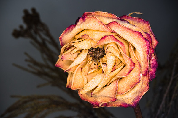 Wilted Rose 3