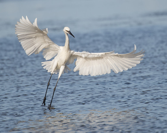 A White Morph Dances above the water