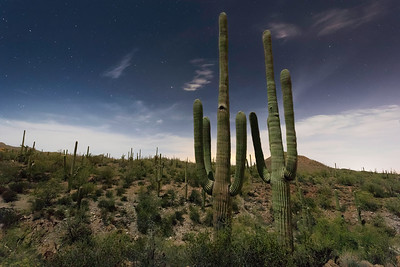 Saguaros by Night
