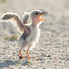 A Least Tern Baby in Action