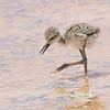 Baby Black necked stilt