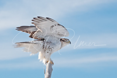 Young ferruginous hawk look back