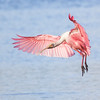 A Spoonbill in Flight