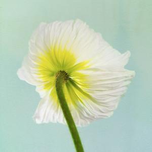 Paper White Poppy