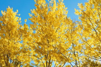 Golden aspen against blue sky