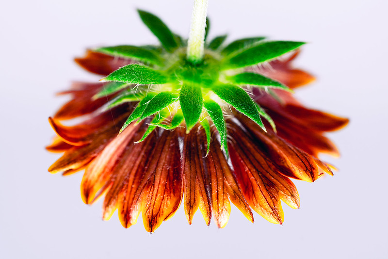 Red Firecracker Blossom