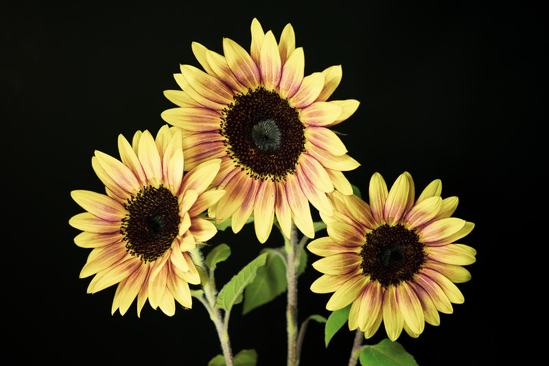 Summer Sunflower Trio