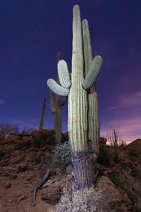 Saguaros by Night