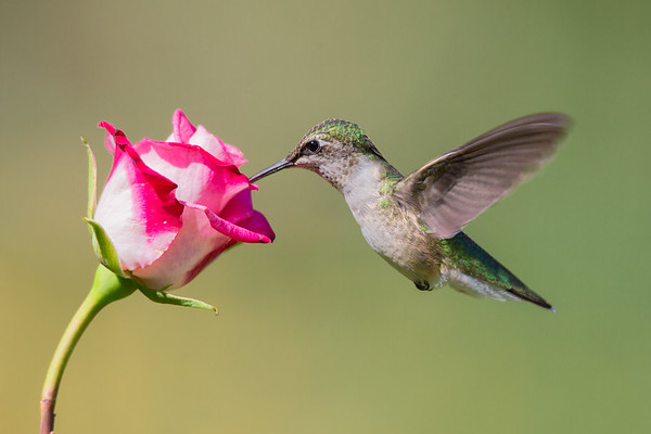 A Female ruby throated hummingbird