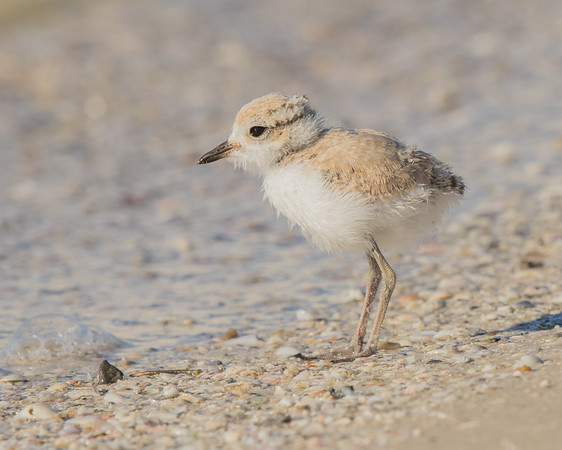 A Snowy Plover Chick