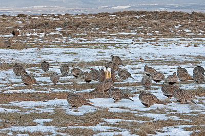 Sage Grouse mating grounds