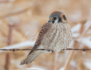 Female Kestrel in the snow