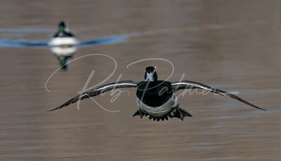 Scaup coming in for a landing