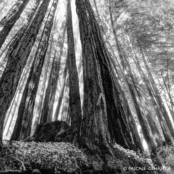 Shifting light in the redwoods