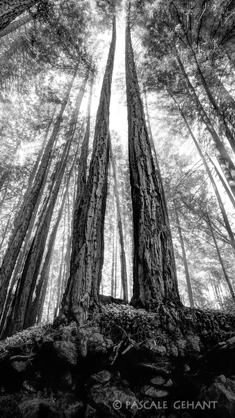 Shifting light in the redwoods 2