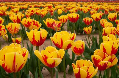 Holland Ridge Farms Tulip Festival - Cream Ridge, NJ