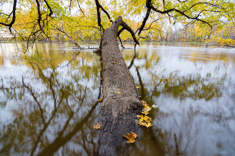 A maple tree trunk bends into the Minnesota river while leaves fall from overhanging branches.  Minnesota River Valley National Wildlife Refuge, Minnesota