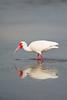 Mirrored Ibis