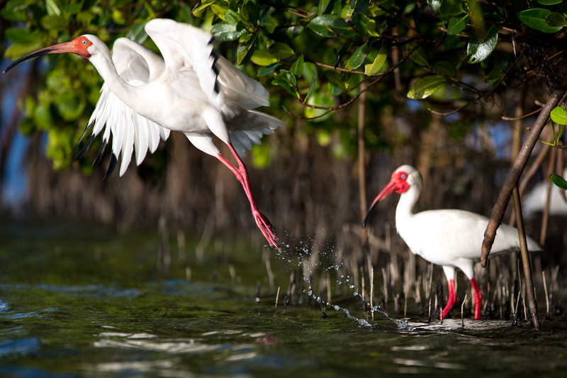 LEAPING IBIS
