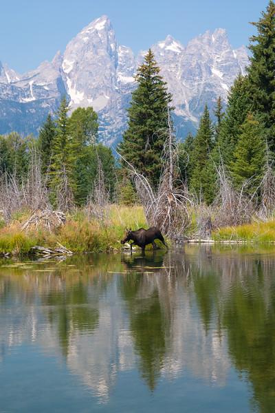 Schwabacher Moose